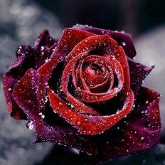 Набор в технике алмазная вышивка Роса на розе